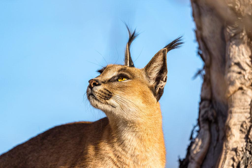 Wüstenluchs auf einem Baum fotografiert von Benny Rebel auf einer Fotoreise in Südafrika