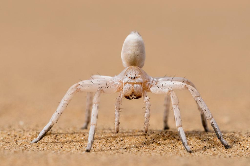White Lady Spinne fotografiert auf einer Fotoreise in Namibia -