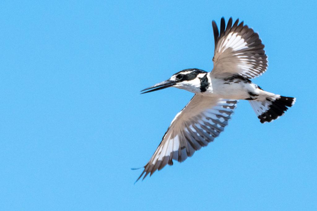 Eisvogel fotografiert in der Luft auf einer Fotoreise von Benny Rebel in Botswana