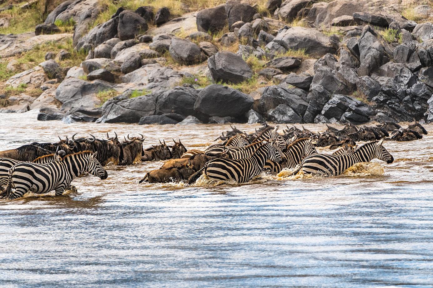 Gnuherden und Zebras in der Massai Mara schwimmen durch den Mara-Fluss - Fotografiert auf einer Fotoreise von Benny Rebel