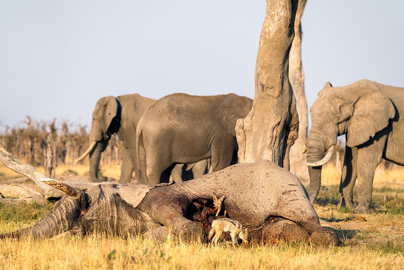 Elefantenkill - Von Löwen getötet im Okavango Delta - Chobe Nationalpark - Botswana - Fotoreise / Fotosafari mit Benny Rebel