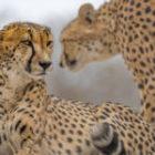 Fotografiere Südafrikas Geparde!
