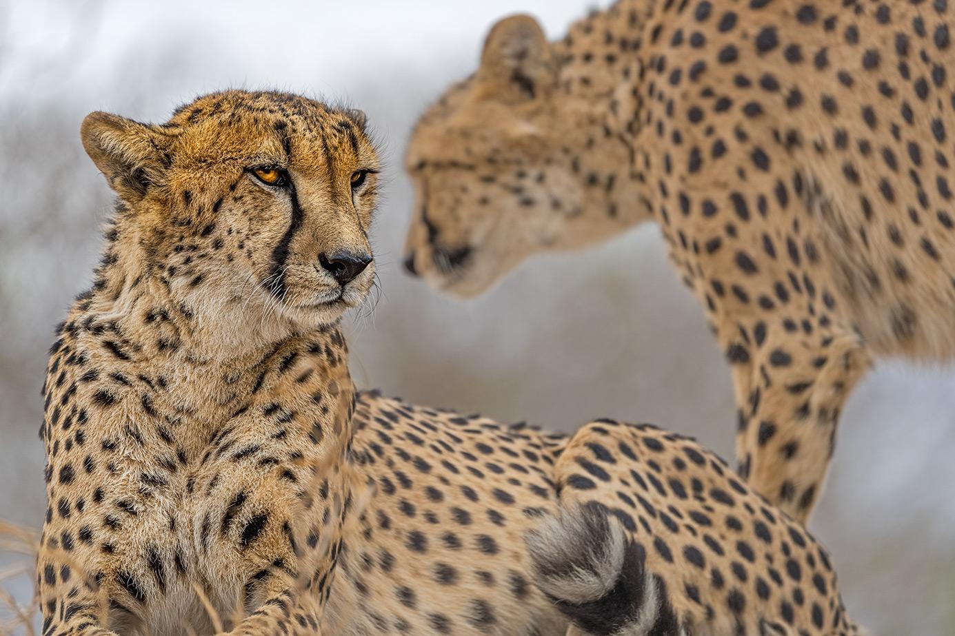 2 Geparde fotografier auf einer Fotoreise in Südafrika von Benny Rebel