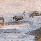 Die spektakulären Flussüberquerungen und Tierwanderungen in Kenia
