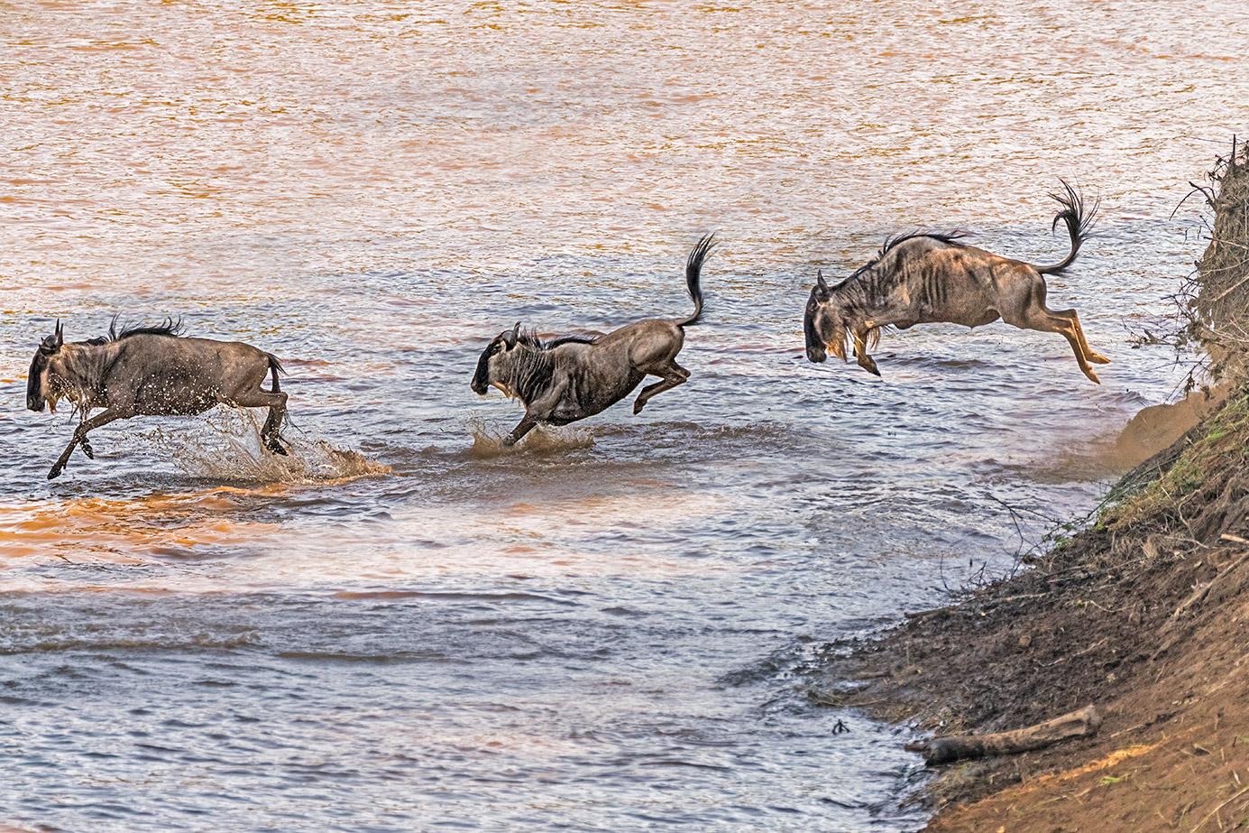 Gnus springen in den Marafluss auf einer Fotoreise in Kenia