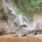 Ein weiteres Bild von der großen Migration der Gnus in die Massai Mara