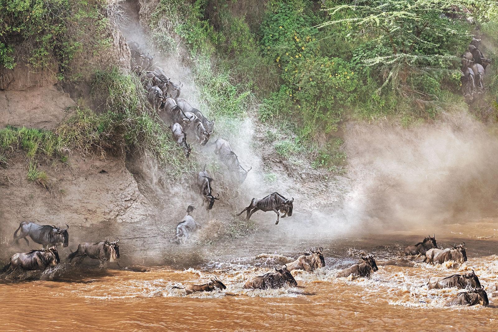 Gnus springen ins Wasser des Sand Rivers in der Massai Mara auf einer Fotoreise mit Benny Rebel Fotosafaris GmbH