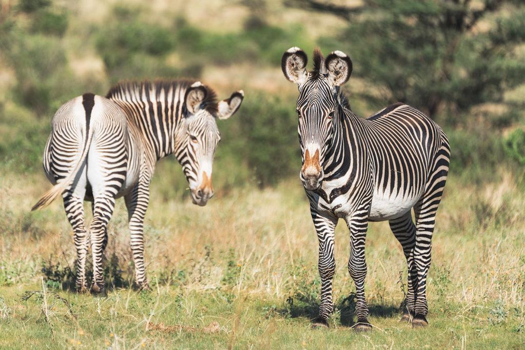 Grevyzebras fotografiert im Samburu Nationalpark auf einer Fotoreise im Norden Kenias
