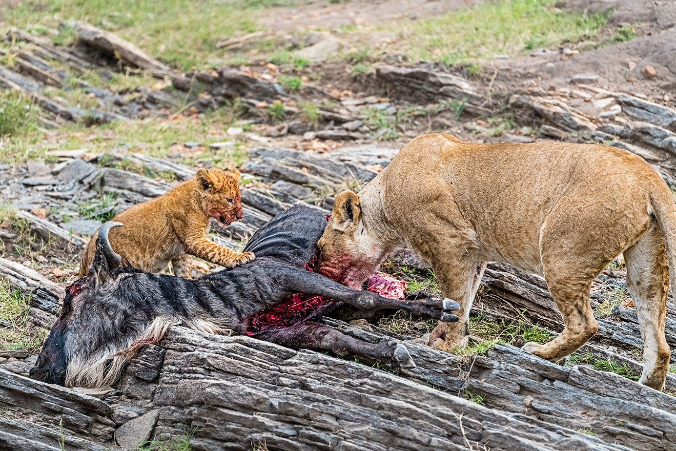 Löwin und Baby fressen ein Gnu auf einer Fotoreise in Kenias Massai Mara.