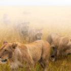 13 Löwen ziehen los, um zu jagen und wir sind dabei