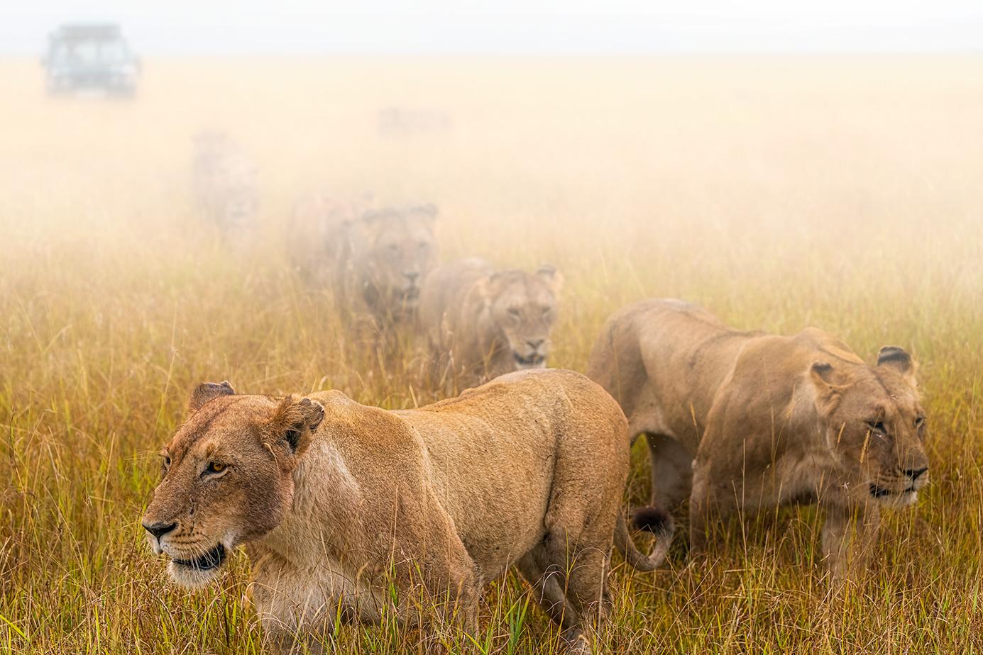 Löwen im Nebel in der Massai Mara auf einer Fotoreise durch Kenia fotografiert.