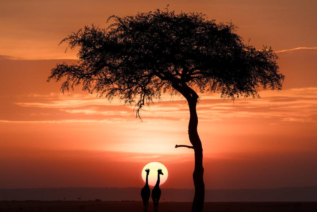 Giraffen und Baum im Sonnenuntergang in der Massai Mara auf einer Fotoreise fotografiert.