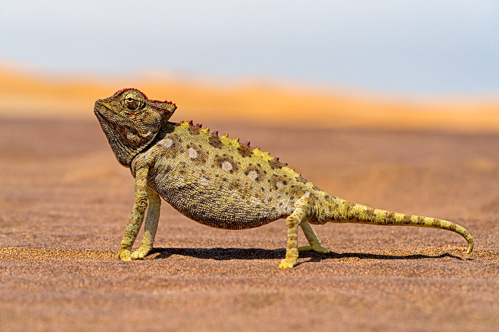 Namaqua-Chamäleon fotografiert auf einer Fotoreise in Namibia - Benny Rebel Fotosafaris GmbH