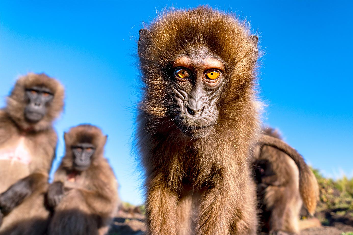 Blutbrustpaviane in den Semienbergen Äthiopiens fotografiert auf einer Fotoreise mit Benny Rebel Fotosafaris GmbH