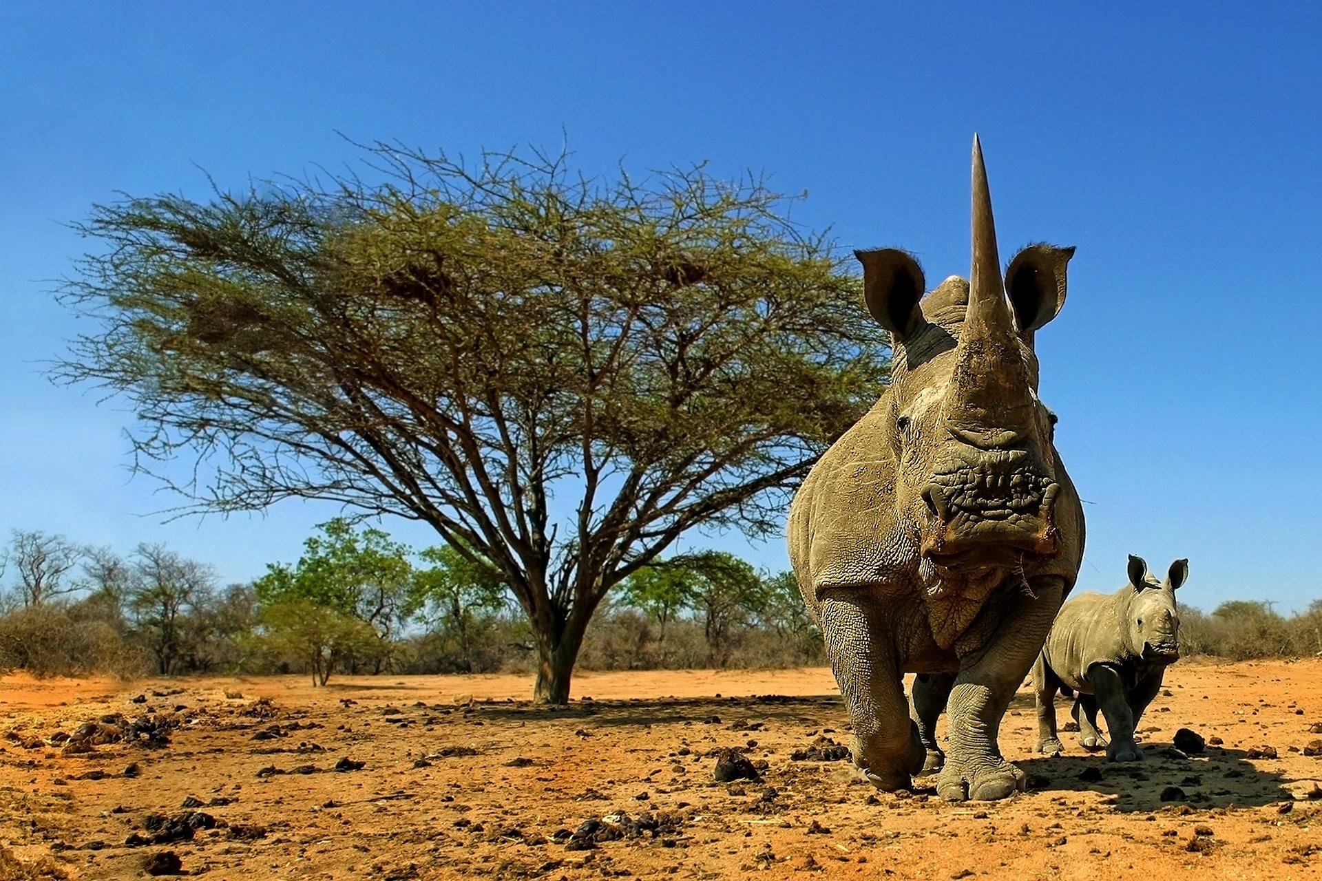 Nashorn und Baby fotografiert auf einer Fotoreise mit Benny Rebel Fotosafaris in Südafrika