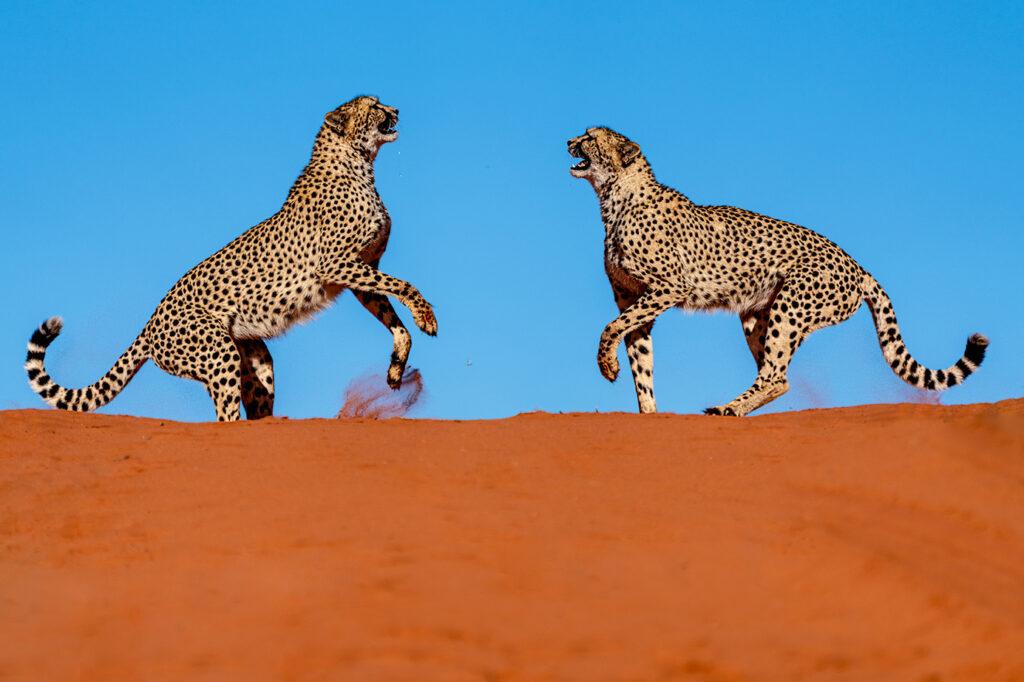 Geparde auf einer Fotoreise durch Namibia fotografiert von Benny Rebel Fotosafaris GmbH