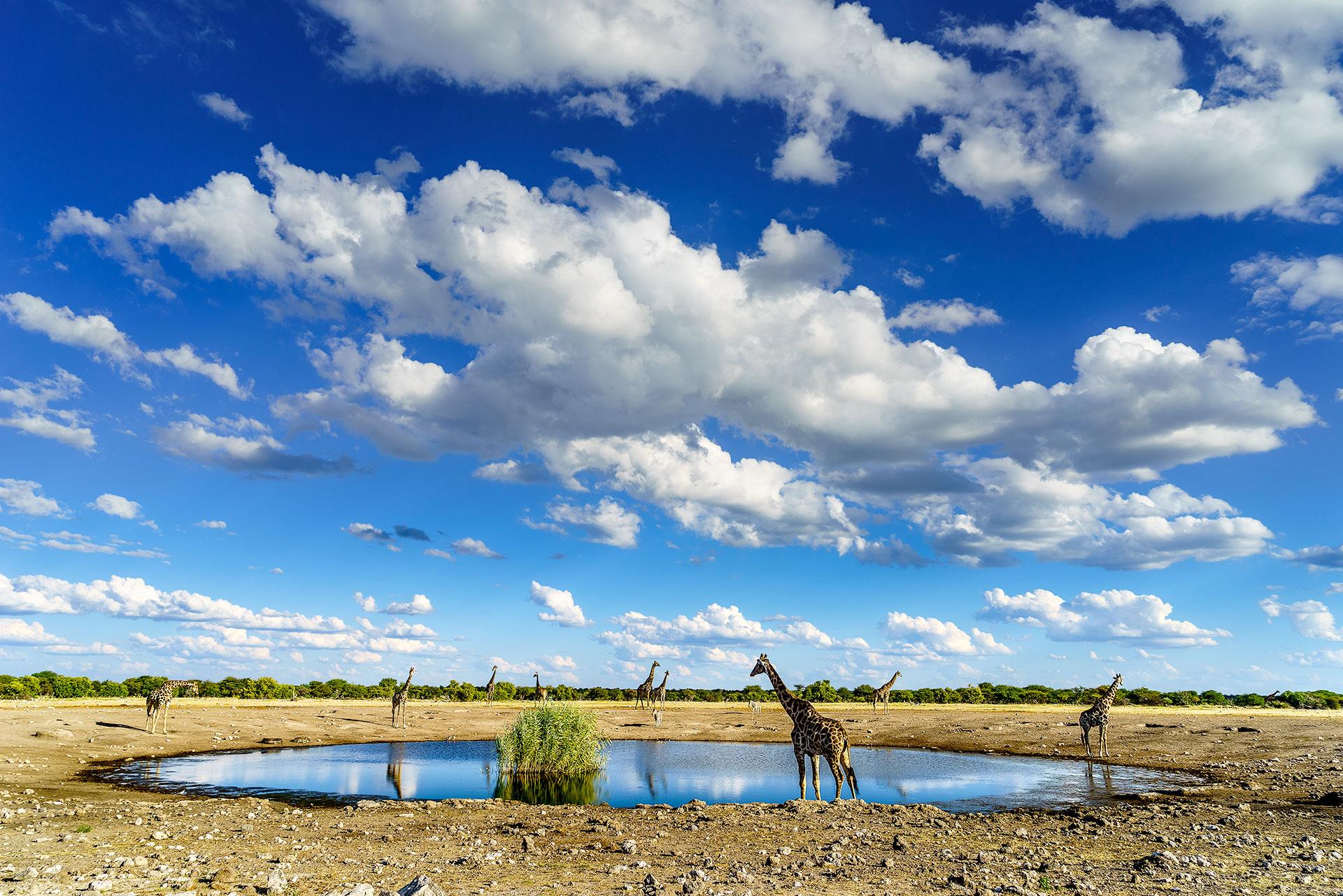 Giraffen am Wasserloch in Etosha fotografiert auf einer Fotoreise mit Benny Rebel Fotosafaris GmbH