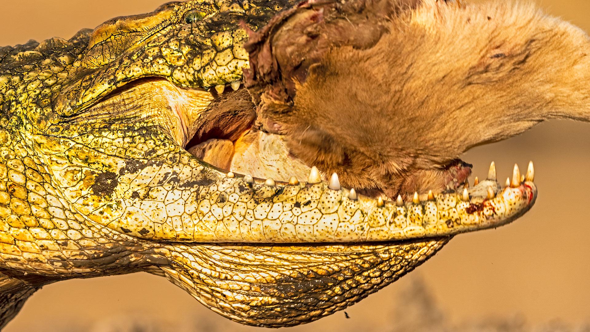 Krokodil frisst eine Impala auf einer Fotoreise in Südafrika mit Benny Rebel Fotosafaris GmbH