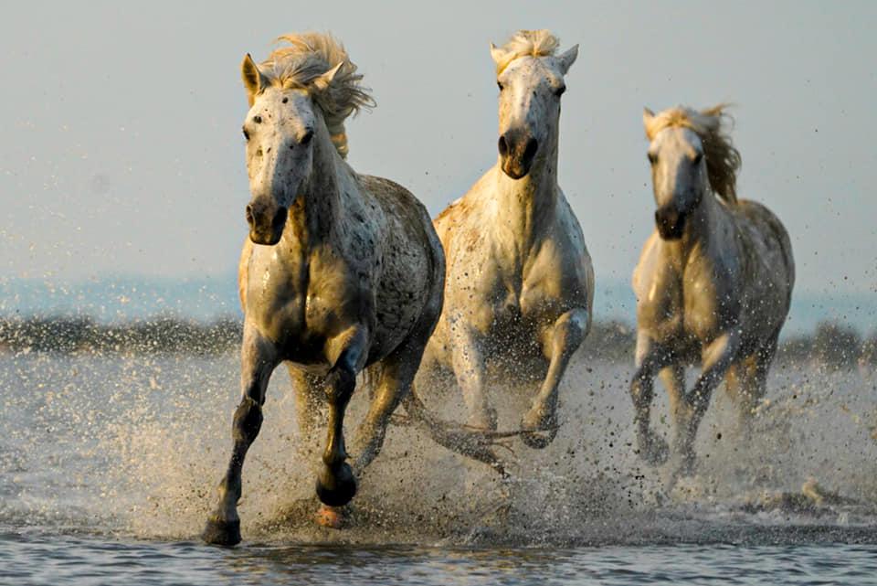 Camargue-Pferde Benny Rebel Fotoreise Frankreich