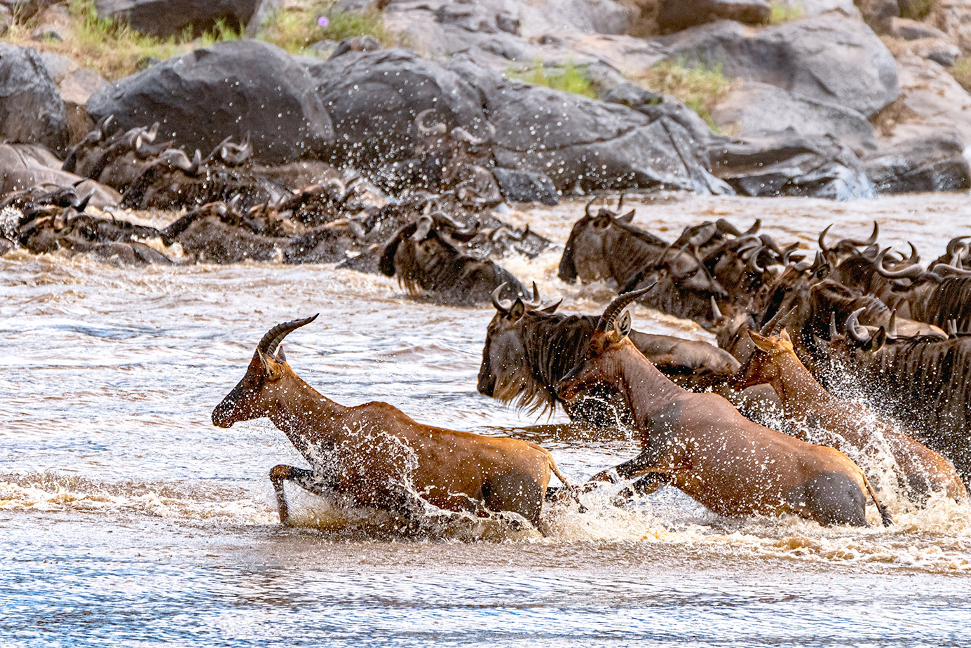 Topis und Gnus druchqueren den Mara Fluss in Kenia auf einer Fotoreise durch die Massai Mara mit Benny Rebel Fotosafaris GmbH