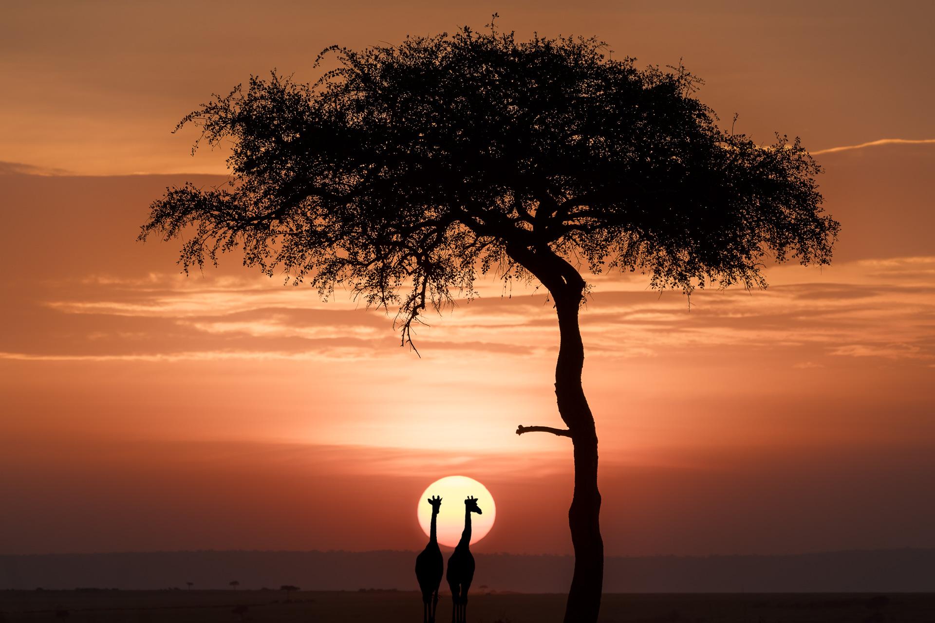 Giraffen und Baum beim Sonnenuntergang fotografiert auf einer Fotoreise mit Benny Rebel Fotosafaris in der Masai Mara.