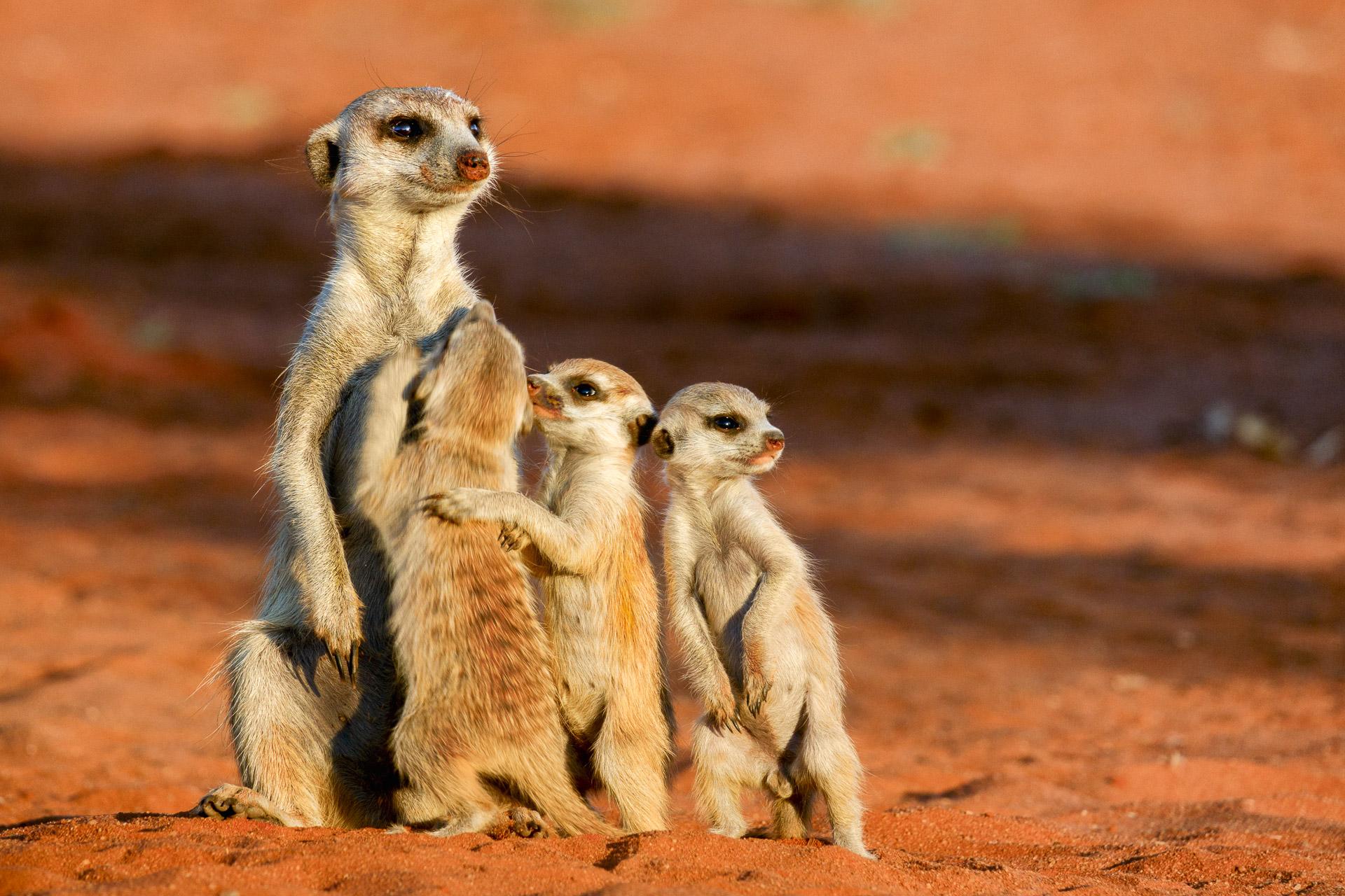 Erdmännchen fotografiert von Benny Rebel auf einer Fotoreise in Namibia