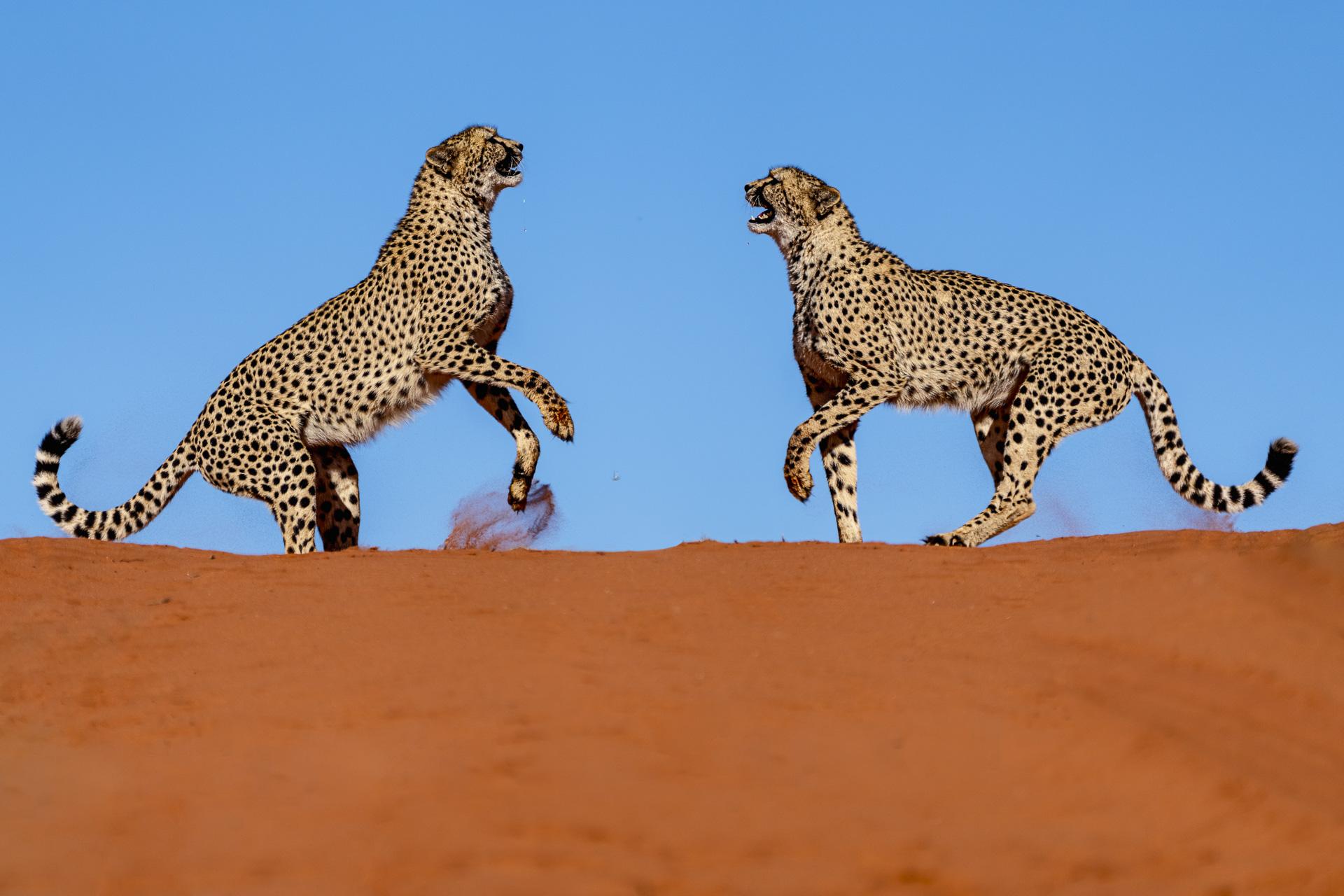 Geparde auf Dünen in Namibia fotografiert von Benny Rebel auf einer Fotoreise