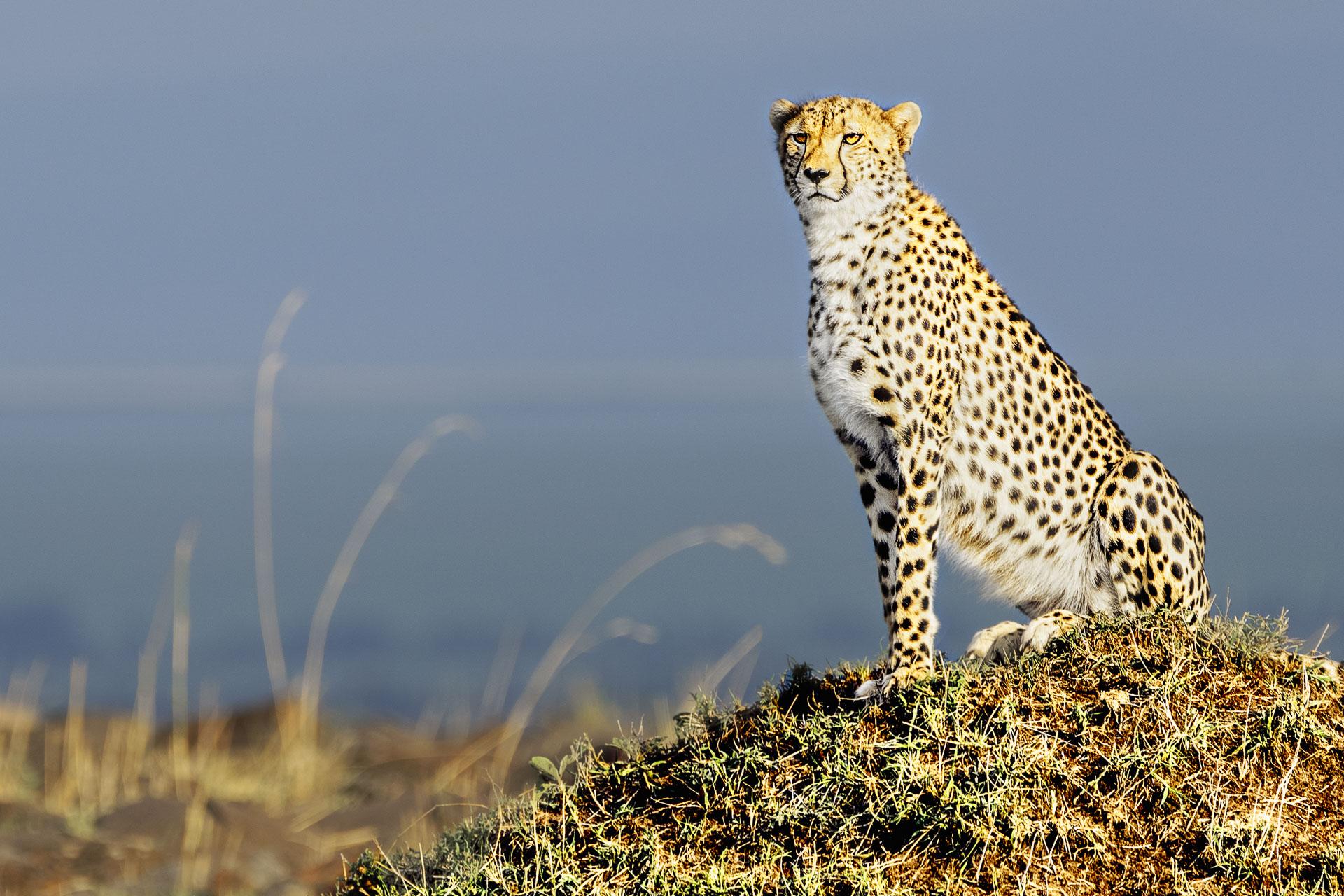 Gepard in der Serengeti