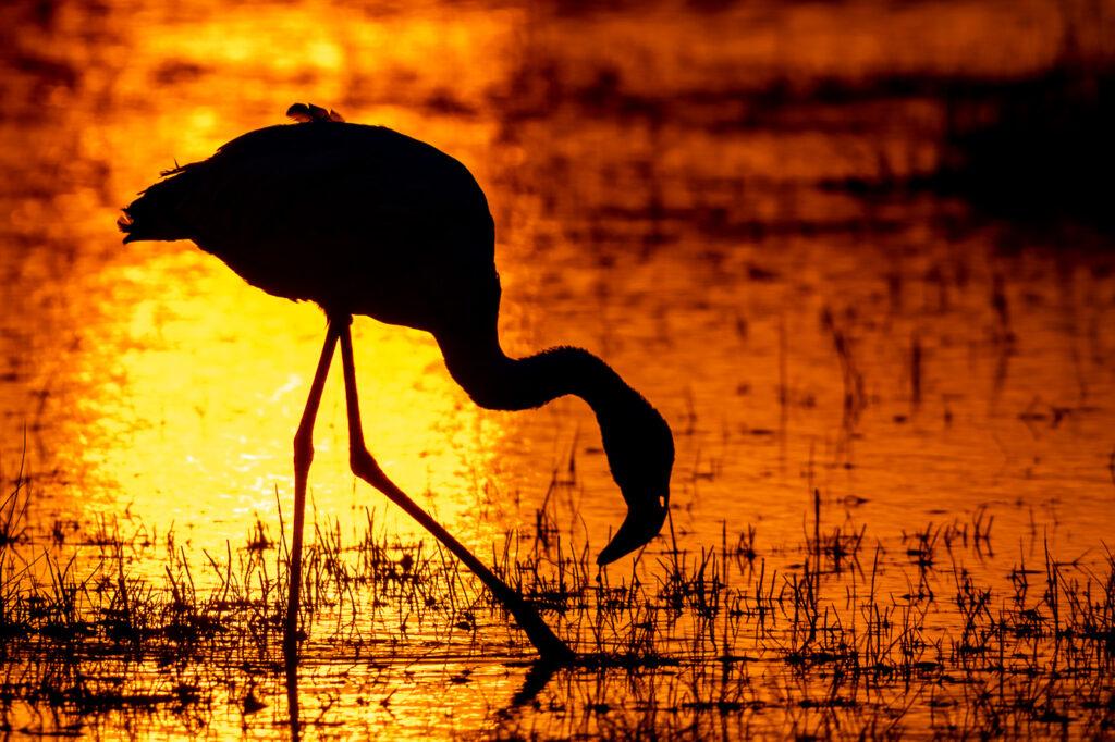Flamingo beim Sonnenuntergang im Lake Amboseli Nationalpark in Kenia. Fotografiert auf einer Fotoreise mit Benny Rebel Fotosafaris.