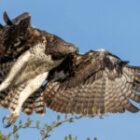 Ein Adler tötet ein Perlhuhn in der Serengeti