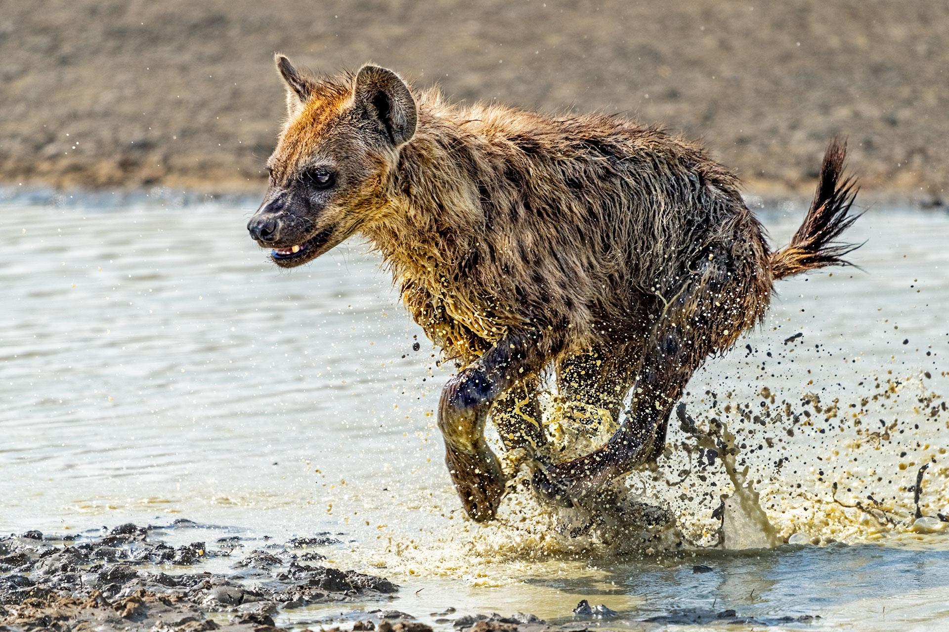 Hyäne rennt im Ngorongoro Krater. Fotografiert auf einer Fotosafari von Benny Rebel